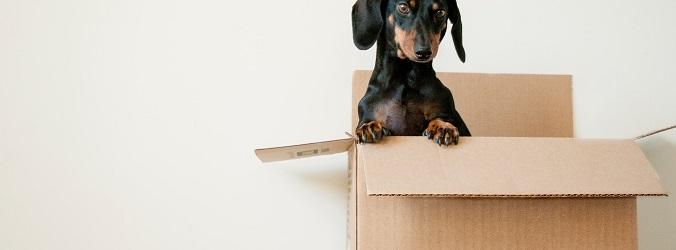 hund i flyttkartong